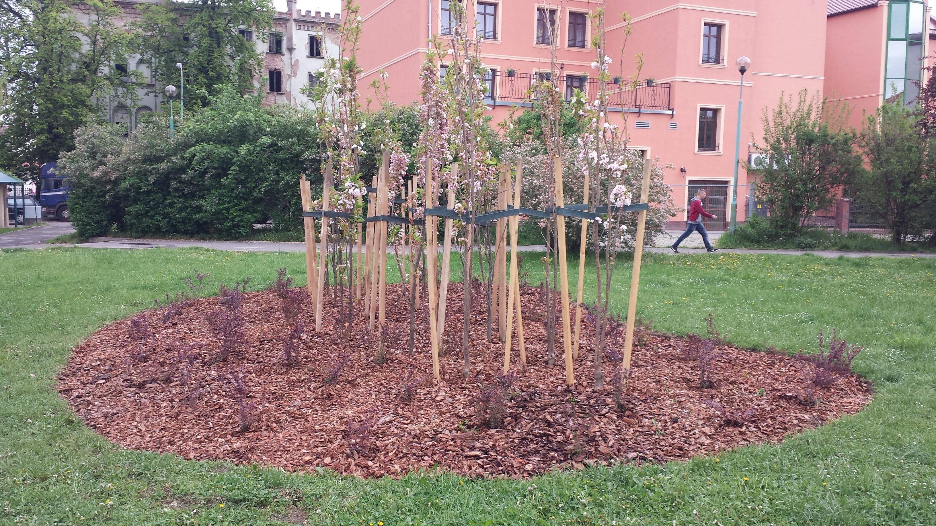 """Kompozycja kolumnowej wiśni piłkowanej AMANOGAWA oraz berberysu - Legnica: """"Odnowa zieleni średniej i wysokiej"""""""