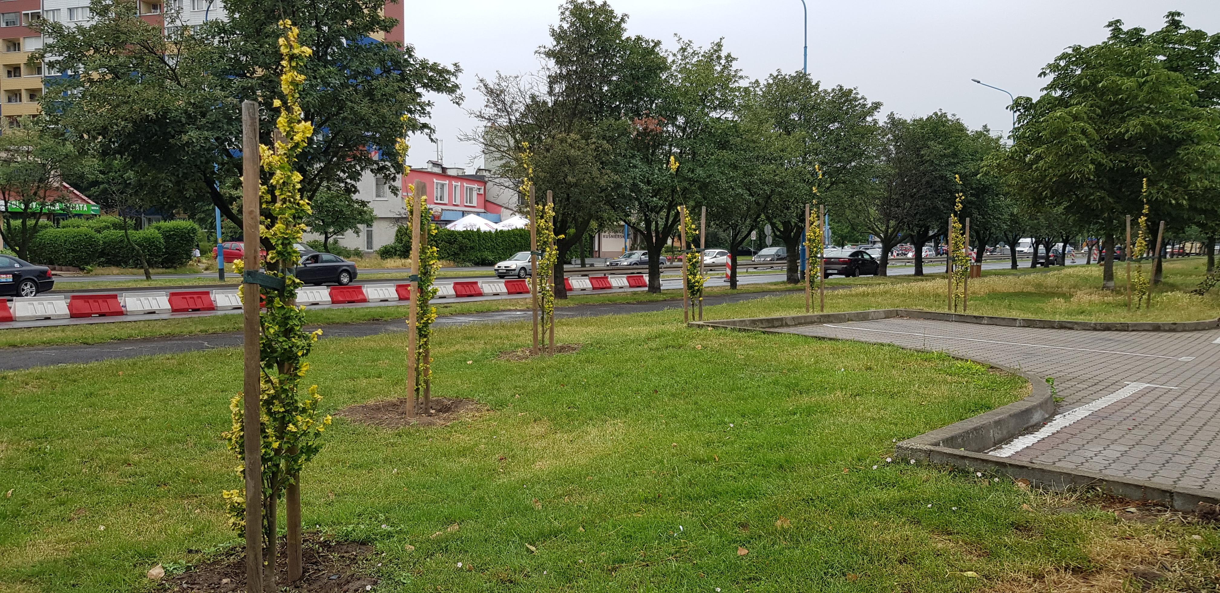 """zieeń izolacyjna szpaler z kolumnowego wiąza holenderskiego - Legnica: """"Odnowa zieleni średniej i wysokiej"""""""